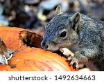 Grey Squirrel Munching On...