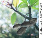 Open and empty seed pods of the Plumeria, Frangipani Tree