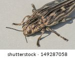 Small photo of Yellow, brown and black striped beetle Agriotes lineatus macro on gray background