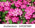 pink clematis flowers.  | Shutterstock . vector #149287889