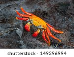 Sally Lightfoot Crab At Rest O...