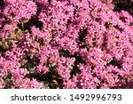 Beautiful Blooming Sedum In...