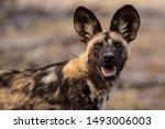Wild Dog Portrait From Africa