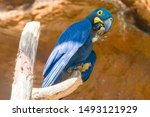 A Lear's Macaw Is Standing On...