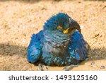 A Lear's Macaw Take A Bath In...