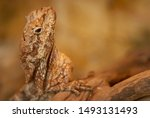 soa payung or The frilled-necked lizard (Chlamydosaurus kingii), also known commonly as the frilled agama, frilled dragon or frilled lizard, is a species of lizard in the family Agamidae