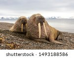 Walruses At The Spitsbergen At...