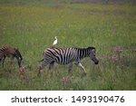 Plains Zebra With White Egret...