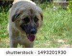 Anatolian Shepherd Dog On The...