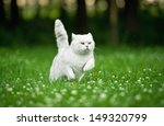 Stock photo british shorthair cat running in summer 149320799