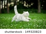 Stock photo british shorthair cat running in summer 149320823