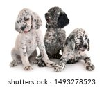Puppy English Setter In Front...