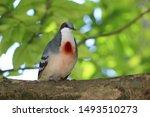 A Luzon Bleeding Heart Dove Bird