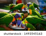 Colorful Lorikeets Feeding  At...