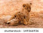 Cute Lion Cubs Playing In The...