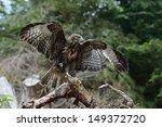 common buzzard  buteo buteo ... | Shutterstock . vector #149372720