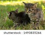 Stock photo two cute little grey kitten with blue eyes kittens on the hunt closeup portrait of grey kittens 1493835266