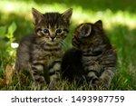 Stock photo two cute little grey kitten with blue eyes kittens on the hunt closeup portrait of grey kittens 1493987759