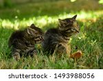 Stock photo two cute little grey kitten with blue eyes kittens on the hunt closeup portrait of grey kittens 1493988056