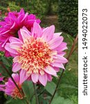 Dahlia Momba In Flowering Stage