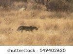 Leopard Walking In Yellow Grass