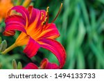 Red Purple Daylilies Flowers Or ...