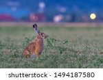 Stock photo european hare or brown hare lepus europaeus sun enlightened animal sitting in a meadow hare in 1494187580