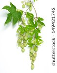 branch of hops on a white... | Shutterstock . vector #149421743