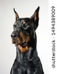 Black Doberman Dog Portrait On...