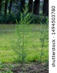 Young Plant Of Green Asparagus...
