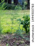 Green Young Asparagus Plant In...