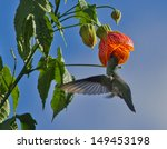 Small photo of White-bellied Hummingbird hovers and feeds at orange flowers with blue sky background, Ollantaytambo, Peru. The scientific name is Amazilia chionogaster