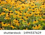 Black Eyed Susan Flowers In The ...