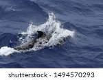 Dolphin swimming at high speed...