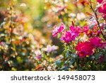Stock photo beautiful rose garden in an early morning light and with natural bokeh created by morning dew 149458073