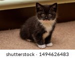 Stock photo black and white tuxedo kitten with adorable sweet face and piercing eyes looking straight in to the 1494626483