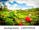 Organic Strawberry Fields