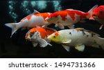 Koi Fish. Group Of Various Koi...