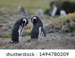 Magellanic Penguins  Spheniscu...