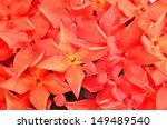 Closeup Of Red Ixora  Coccinea...
