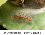 Male Weaver Red Ant Mimic...
