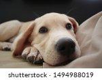 Stock photo cute yellow labrador puppy lying on a sofa labrador puppy on a dark background puppy closer nose 1494988019