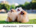 Three Zverg Spitz Pomeranian...