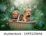 Puppies Dogue De Bordeaux...
