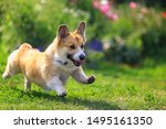 Stock photo funny puppy dog red corgi fun runs on green meadow sticking out language and raising paws 1495161350