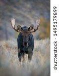 Alces Alces Shirasi  Moose  Elk ...