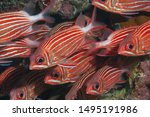 a scool of Redcoat Squirrelfish