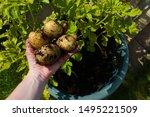 Picking Estima Potatoes Grown...
