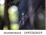 Orchard Orb-weaver spider Leucauge venusta in the middle of a web in Naples, Florida