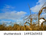 Old Corn In Cornfield With...
